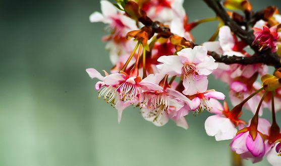Обои Весенняя цветущая веточка, фотограф Y Okawa