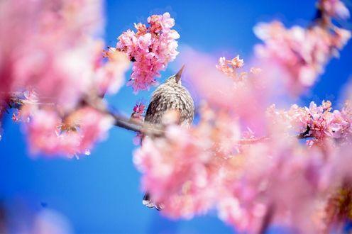 Обои Птичка на весенней цветущей веточке, фотограф Y Okawa