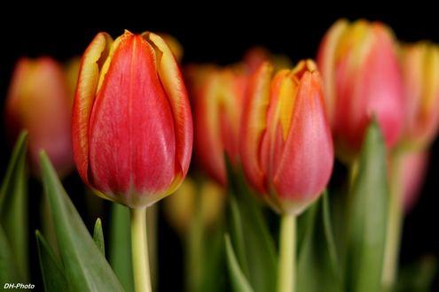 Обои Красные тюльпаны, фотограф Klaus Heinemann