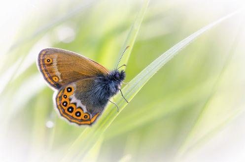 Обои Красочная бабочка на травинке, фотограф Анатолич
