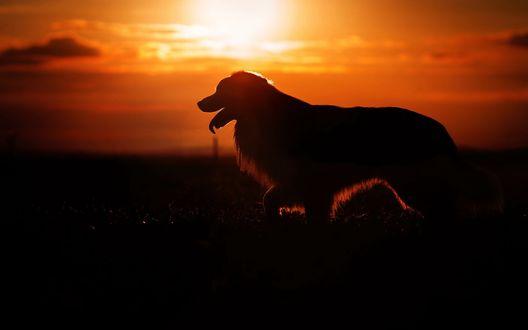 Обои Собака с высунутым языком на фоне заката
