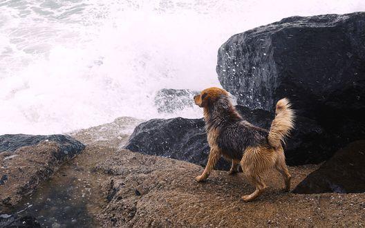 Обои Собака на берегу моря, припала к камню, отстраняясь от набегающей волны прибоя