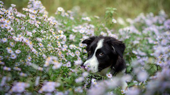 Обои Собака сидит в цветах ромашки