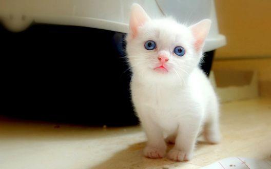 Обои Милый белый котенок с голубыми глазами