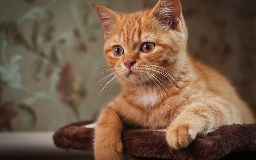 Обои Милый рыжий котенок