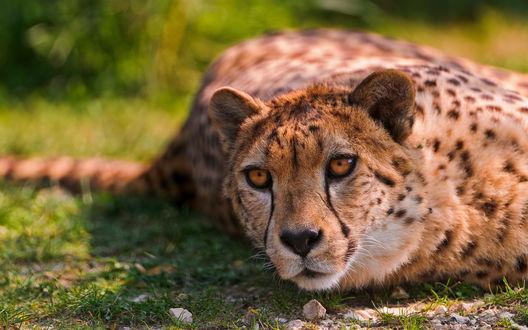 Обои Красивый гепард с желтыми глазами лежит на траве