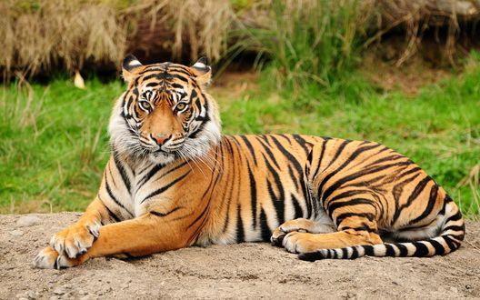 Обои Важный тигр лежит на земле на фоне природы