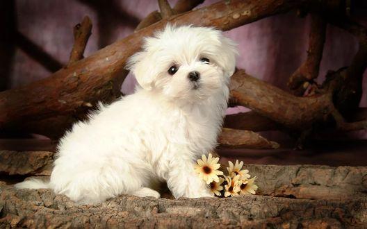 Обои Милый белый щенок с цветами