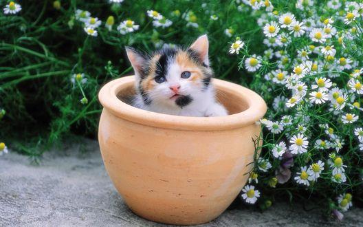 Обои Трехцветный котенок сидит в глиняном горшке на фоне ромашек