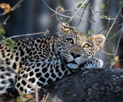 Обои Лежащий на стволе дерева леопард