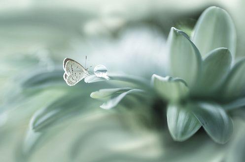 Обои Бабочка рядом с каплей воды на белом цветке
