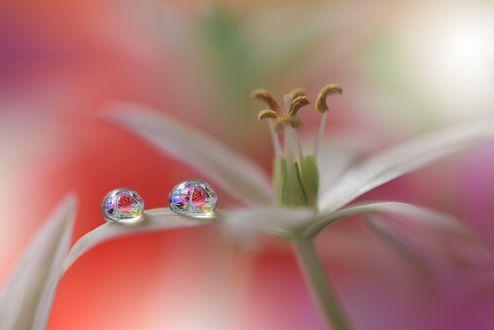 Обои Капельки росы на белой лилии, фотограф Juliana Nan