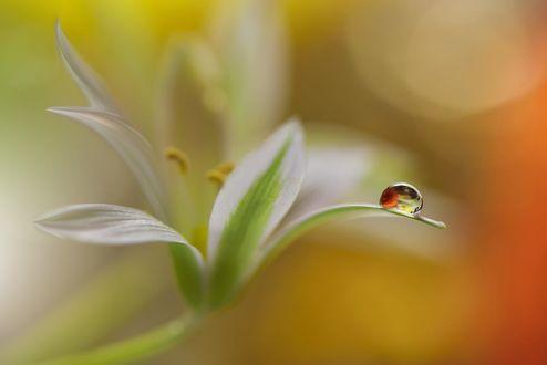 Обои Капелька росы на белой лилии, фотограф Juliana Nan