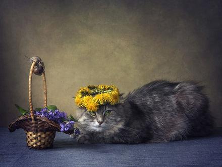 Обои Серый кот в веночке из одуванчиков, рядом с корзинкой с фиалками, фотограф Ирина Приходько