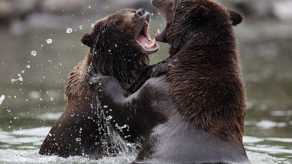 Обои Медведи дерутся в воде