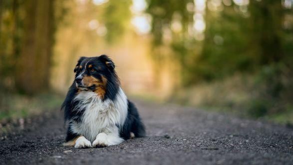 Обои Собака лежит на тропинке в парке