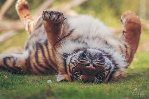Обои Тигр лежит на земле, by Esveeka