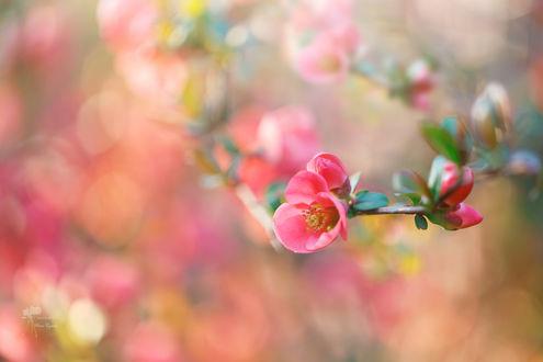 Обои Весенняя цветущая веточка, фотограф Инна Сухова