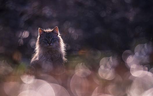 Обои Пушистый серый кот среди блесток боке, фотограф Вячеслав Мищенко
