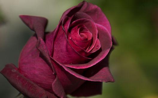Обои Темно-красная роза с капельками росы на размытом зеленом фоне