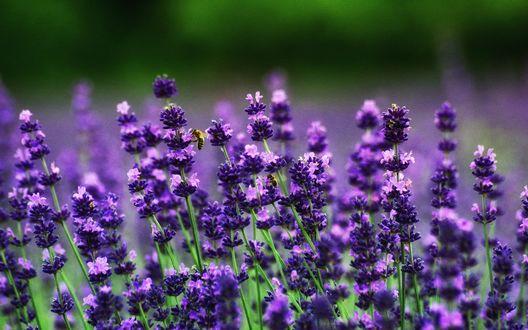 Обои Пчелы сидят на ароматных цветах лаванды