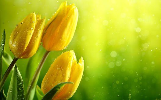 Обои Желтые тюльпаны в капельках росы на зеленом фоне