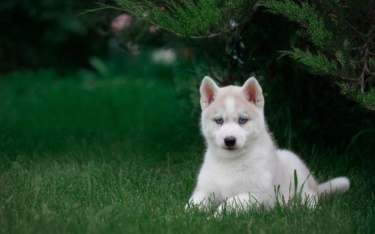 Обои Голубоглазый щенок хаски лежит на зеленой траве под хвойным деревом