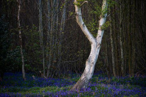 Обои Мелкие синие цветы под березой в лесу