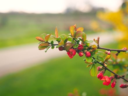 Обои Распускающиеся красные цветы на ветке