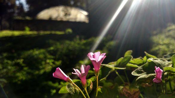 Обои На розовые цветы падают лучи света