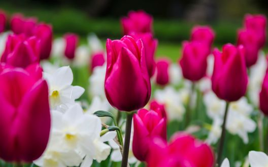 Обои Розовые тюльпаны и белые нарциссы