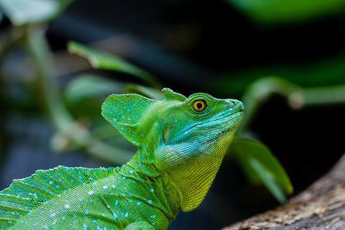 Обои Зеленый хамелеон в профиль