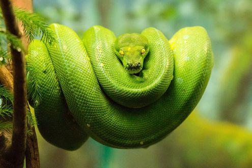 Обои Свернутый зеленый питон