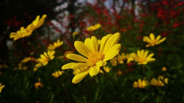 Обои Желтые цветы крупным планом