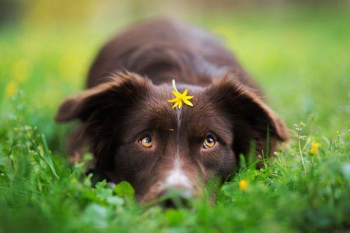Обои Пес с весенним цветком на голове, фотограф Iza Łysoń
