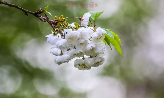 Обои Весенние цветы на ветке, by vini R2