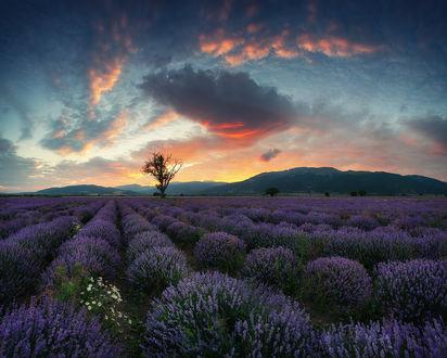 Обои Лавандовые поля Болгарии, фотограф Краси Матаров