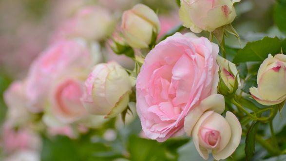 Обои Нежно розовые бутоны роз в макросъемке