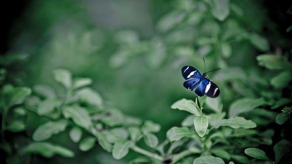 Обои Синяя бабочка на листьях растения