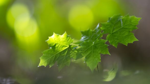 Обои Летние листья клена на размытом фоне