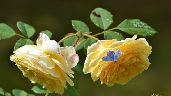 Обои Маленькая бабочка на бутоне желтой розы