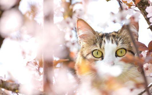 Обои Кот на цветущем дереве