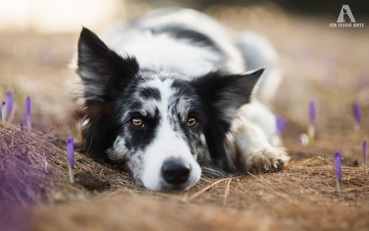 Обои Пес породы бордер-колли лежит на поляне с крокусами