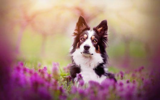 Обои Собака на поляне с цветами