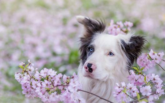 Обои Собака у цветущего дерева вишни