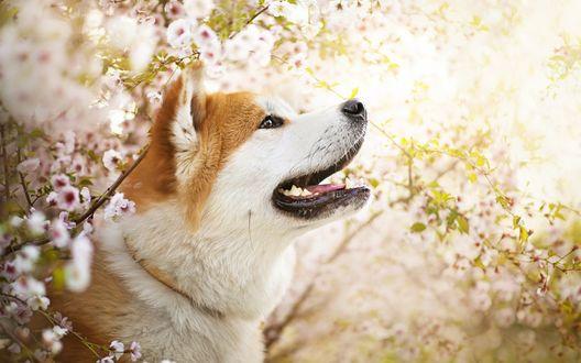 Обои Собака породы сиба-ину у цветущей яблони