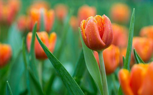 Обои Красно - оранжевые бутоны тюльпанов