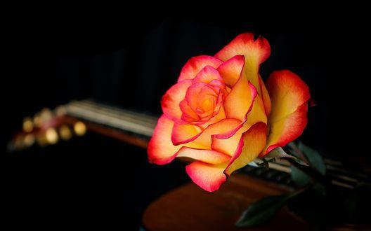 Обои Цветок розы лежит на гитаре