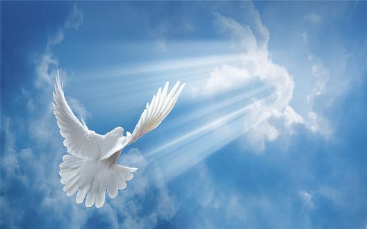 Обои Белый голубь летит навстречу к солнечным лучам, пробивающихся сквозь облака