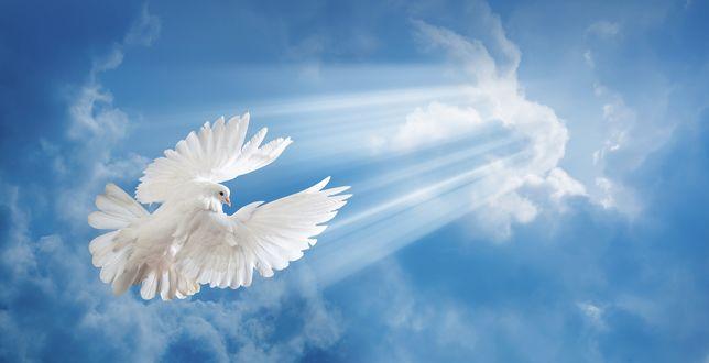 Обои Белый голубь, обернувшись назад, летит к солнечным лучам на фоне неба и облаков
